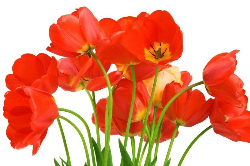 Wallpapers For > Single Red Tulip Wallpaper