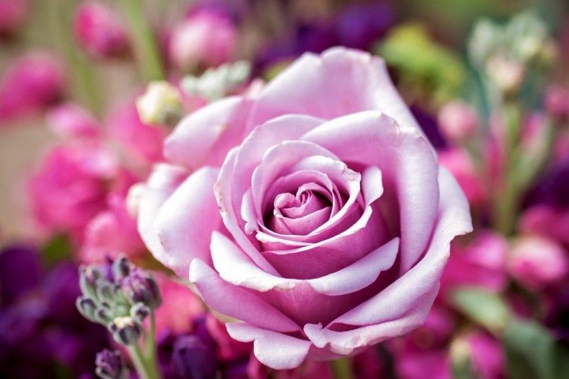 #CC99BB Color - Fragrance Pretty Scent Rose Park Garden Beautiful Lovely  Nature Pink Flower Nice