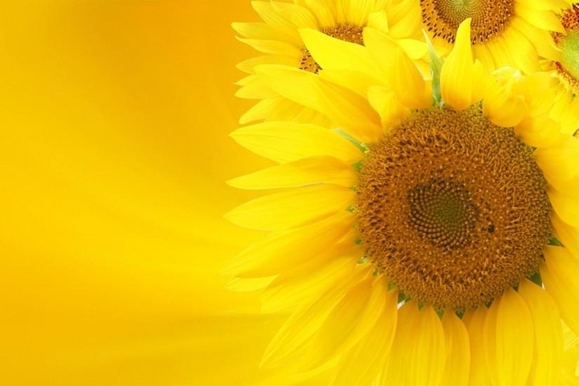 cool sunflower background 1920x1080