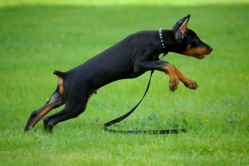 ... Doberman Pinscher Wallpapers - Android Apps on Google Play ...