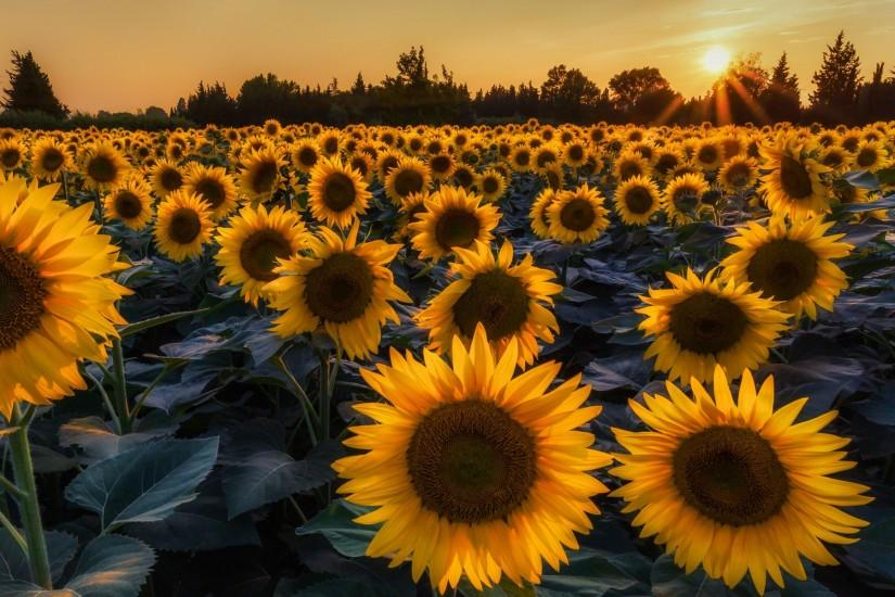 cool sunflower wallpaper 1920x1200 for tablet