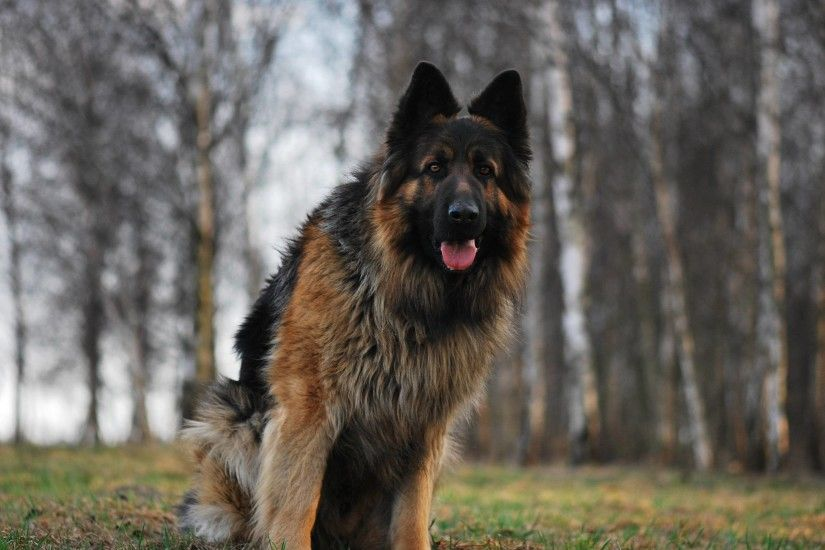 ... German Shepherd Dogs Hd Images 15 Shepherd Dog Wallpapers Images Cool  ...