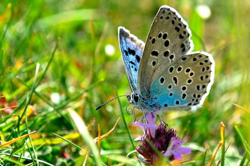 Amazing Blue Butterfly Wallpapers – 1920x1080 for mobile and desktop