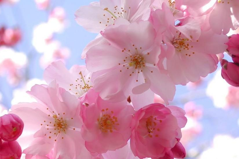 most popular cherry blossom wallpaper 1920x1080 for android tablet