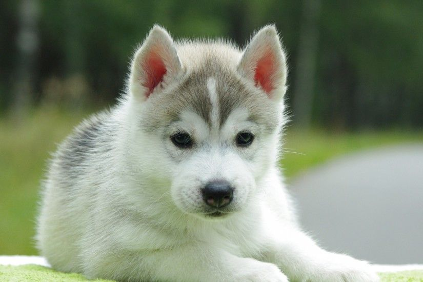Preview wallpaper puppy, husky, down, cute 1920x1080