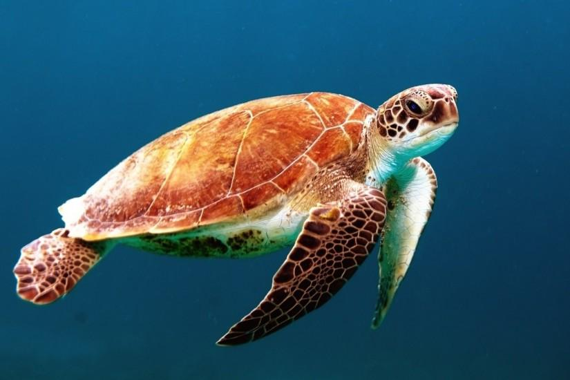 Images For > Sea Turtle Wallpaper