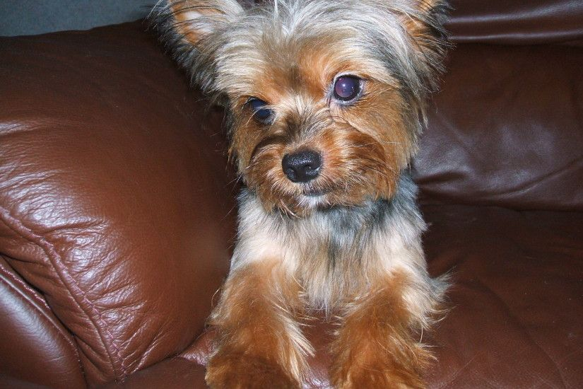 Yorkshire Terrier on the couch photo