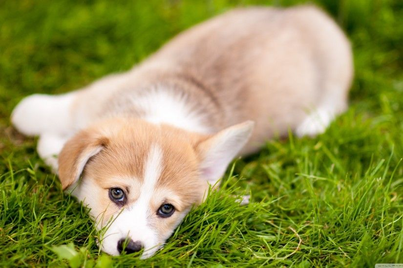 Lazy Pembroke Welsh Corgi Puppy