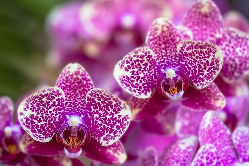 Orchid Tag - Flower Skin Orchids Pink Tapet Orchid Wallpaper Hd 1080p for  HD 16: