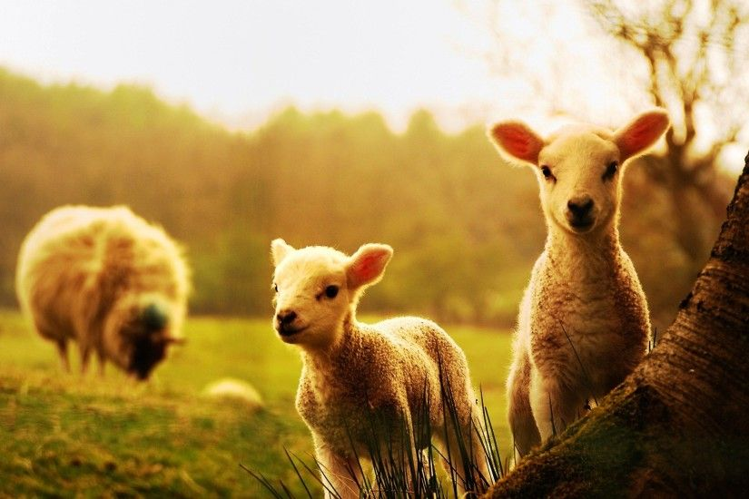 Cute sheep babies cattle wallpapers - New hd wallpaperNew .