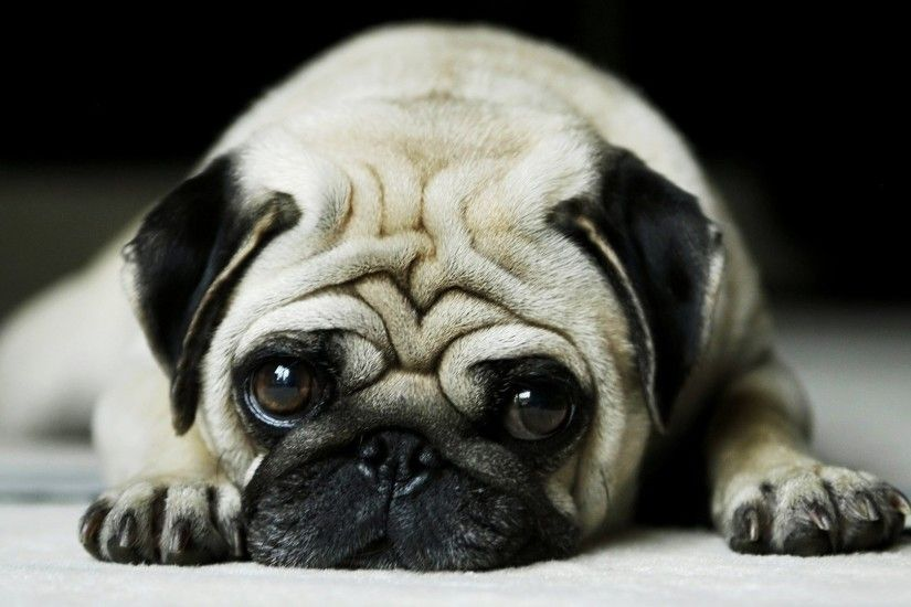 free-pictures-pug-puppy,-Everwyn-Round-wallpaper-wpt7404831