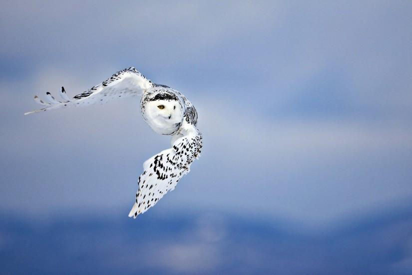 78 Snowy Owl Wallpapers | Snowy Owl Backgrounds Page 2