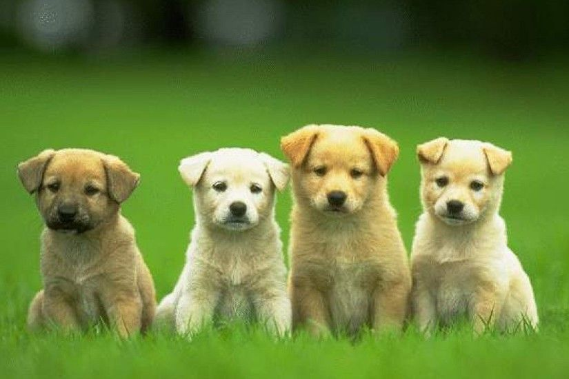Cute Puppy Pictures Wallpapers Wallpaper Cave - HD Wallpapers