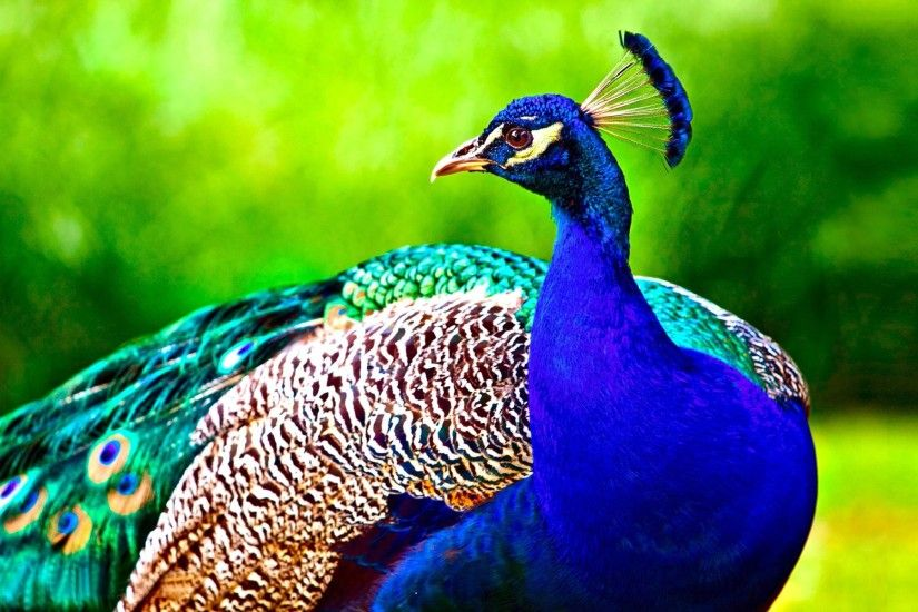 Peacock Bird HD Wallpaper
