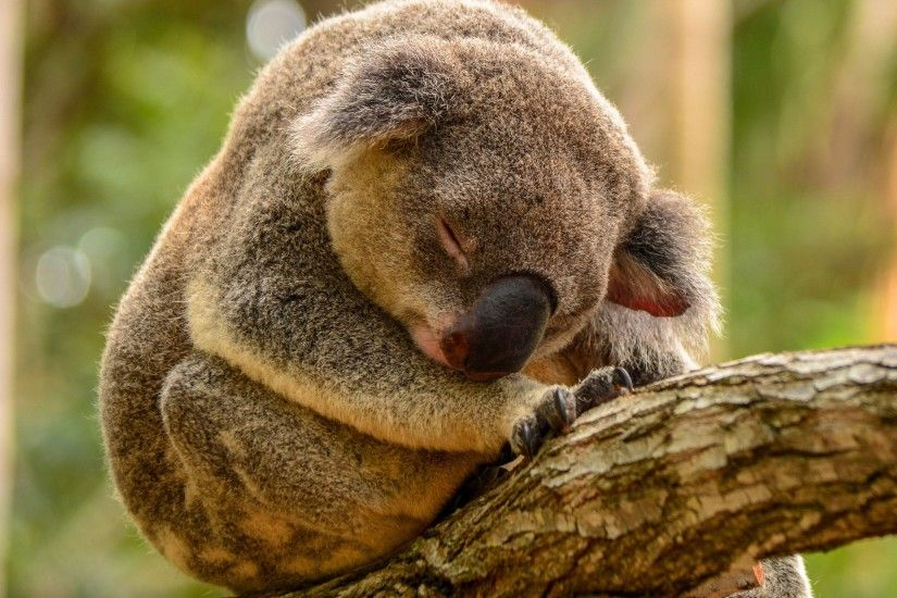 koala sleeping wide hd wallpaper 16575
