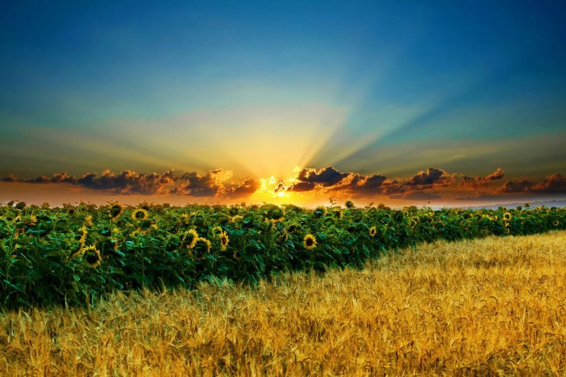 Sunset Sunflower field High quality wallpapers in hd(high  definition),widescreen resolutions for desktop,mobiles and tabs absolutely  free.