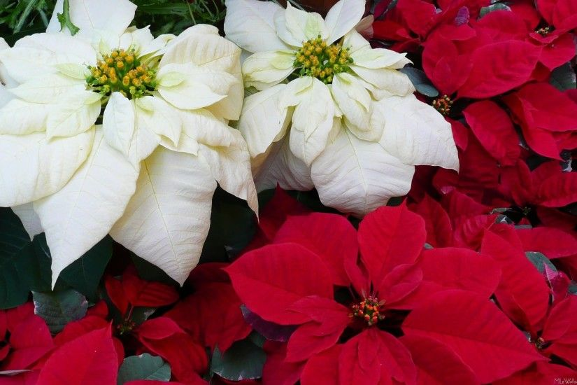 White and Red Poinsettias II