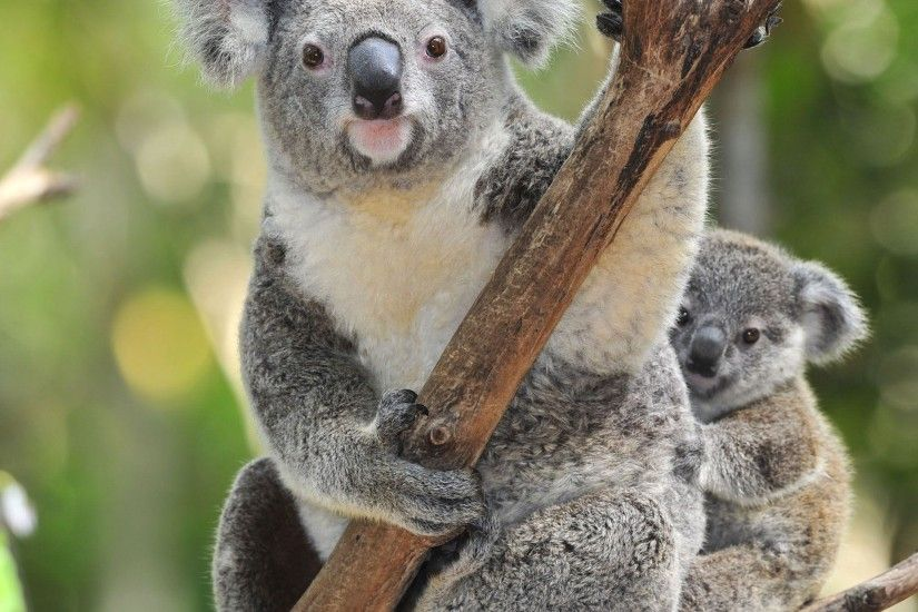 Koala Bear with Baby WallPaper HD. Bears, Wallpaper, With, Koala .
