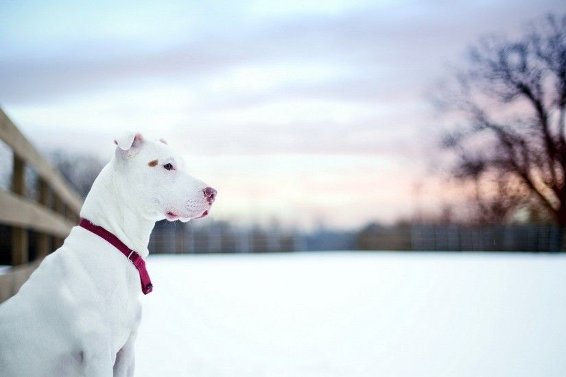 Animal - American Pit Bull Terrier Dog Pet Pit Bull Wallpaper
