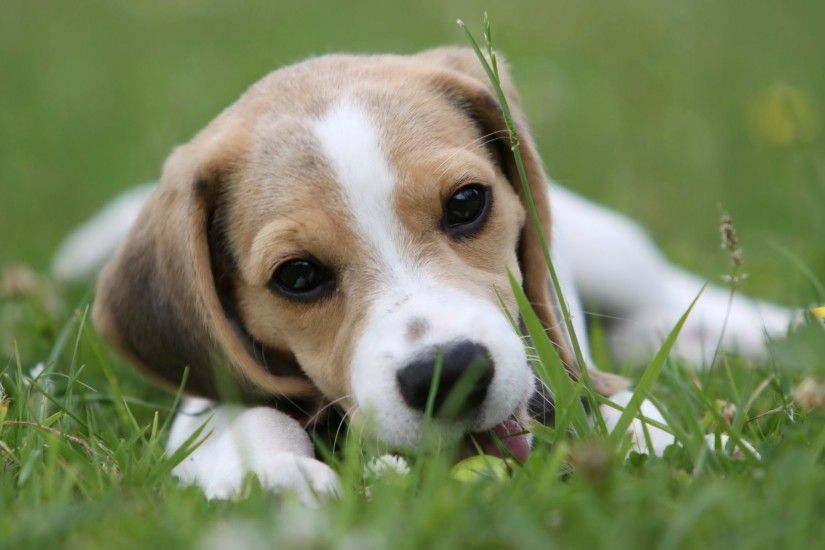 beautiful Animals Beagle Photos Images HD Wallpapers ...