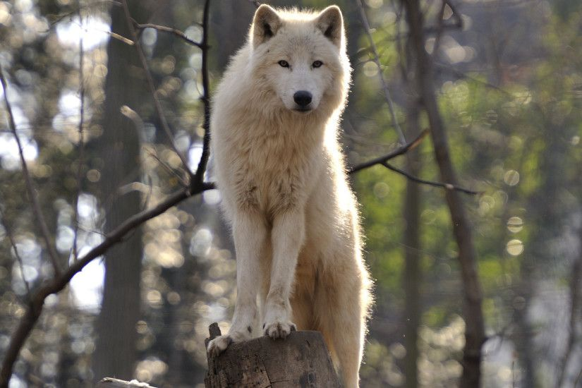 White Wolf Wallpaper Hd Nature