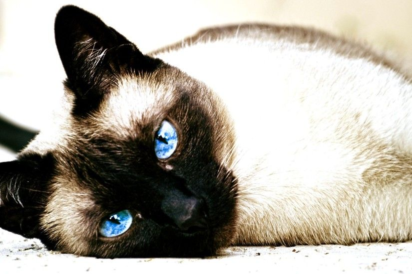 ... Image Siamese baby cat HD Wallpaper WallpaperFX, Baby Siamese Cats .