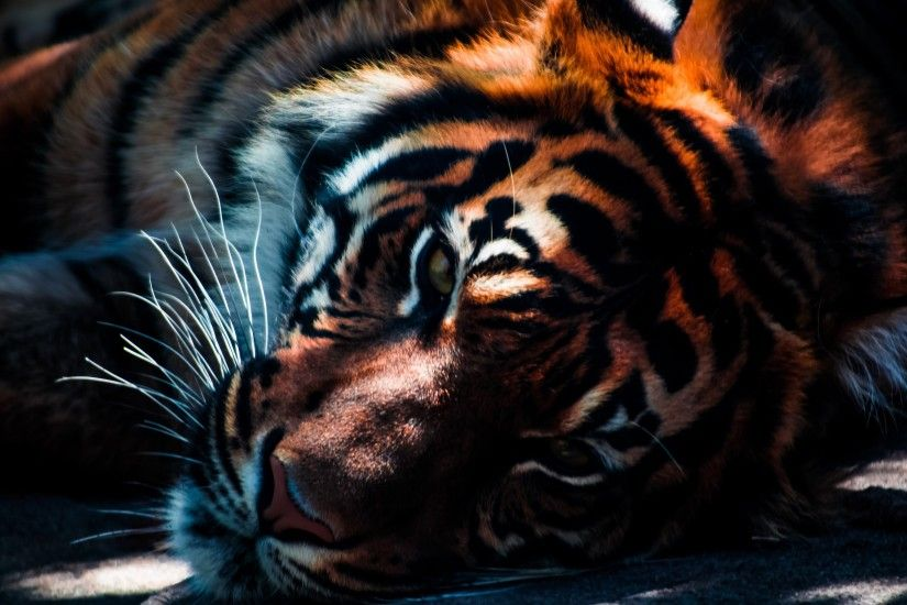 Full HD p Tiger Wallpapers HD Desktop Backgrounds x