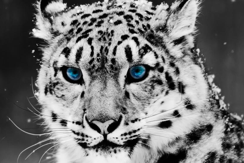 Animals snow leopard Blue Eyes Full HD 1920x1080 Wallpapers