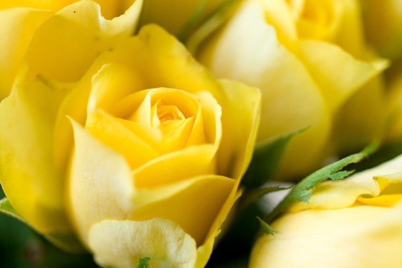 Yellow Roses Background