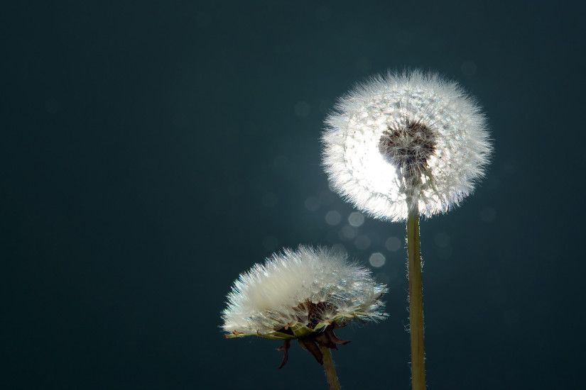 1920x1200 dandelion wallpaper 784319 dandelion wallpaper 784468 dandelion .