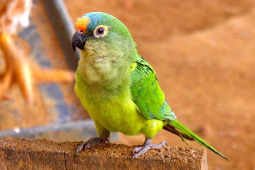 green and blue crowned conure