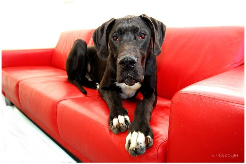 ... Great Dane Dogs : Live HD Great Dane Dogs Wallpapers, Photos ...