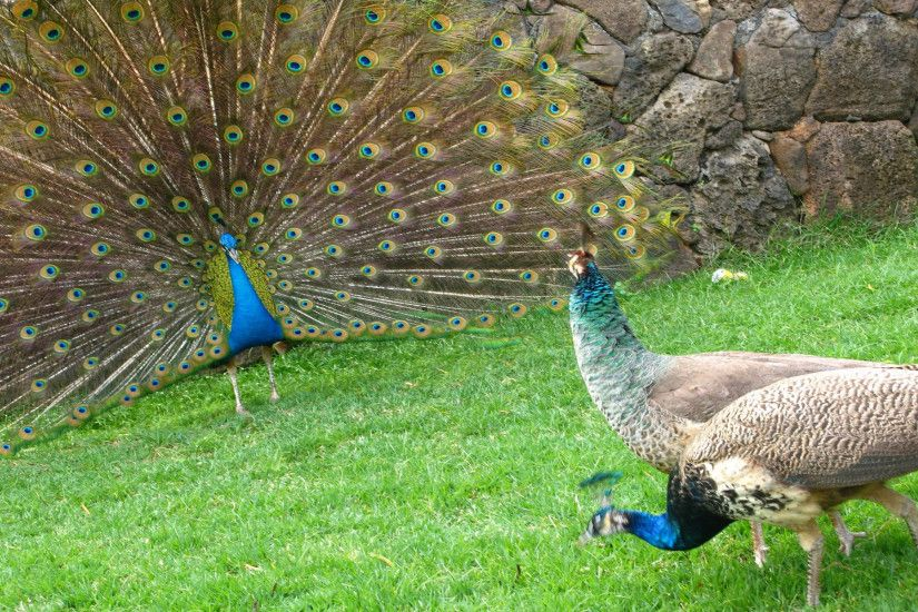 Peacock-Pictures-Images-Photos