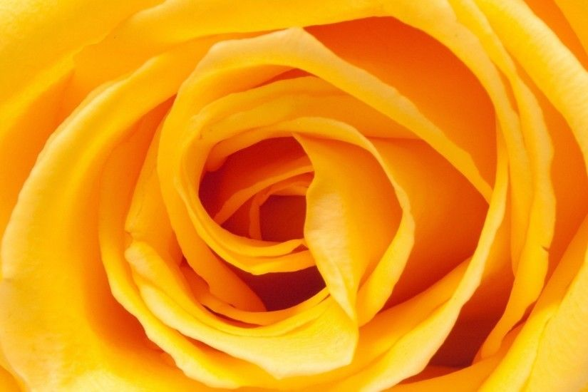 1920x1259 Beautiful Yellow Rose Flower Wallpaper For Desktop