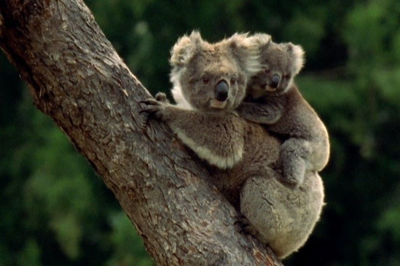 Baby Koala eats mother's poo - Animal Super Parents: Episode 1 Preview -  BBC One - YouTube