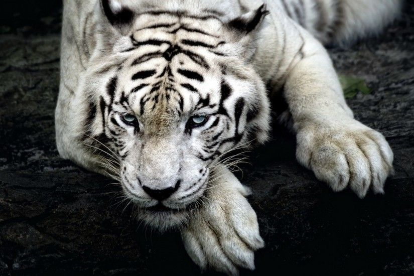 Tiger White Backgrounds (33 Wallpapers)