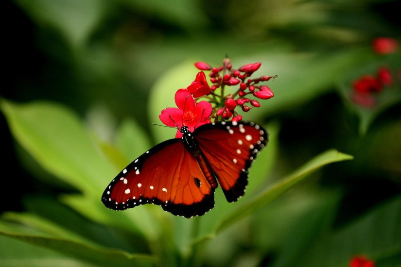 Attractive butterfly wallpaper with red rose colors