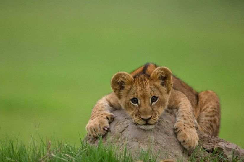 Lion cubs Wallpaper (36286251) - Fanpop