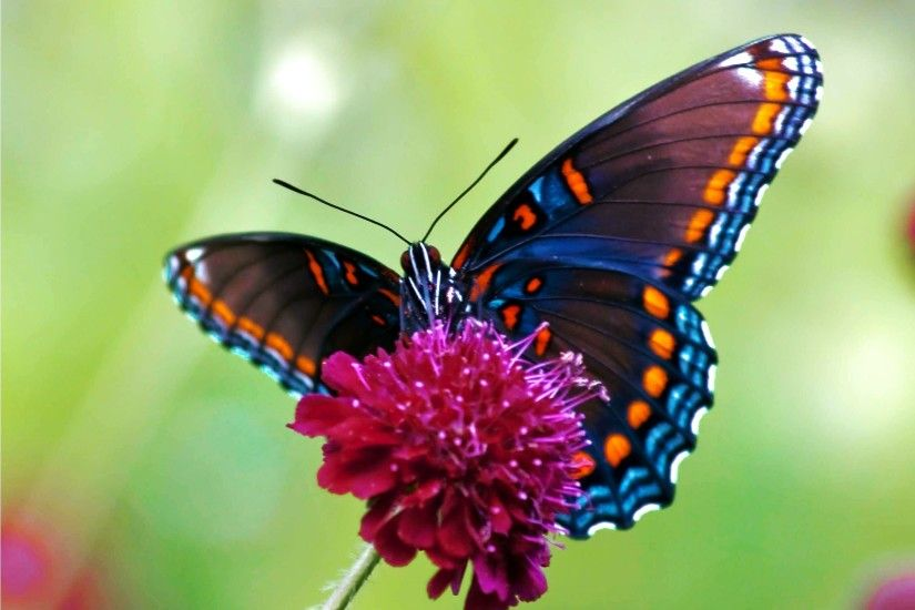 Illustrations Of Butterflies | HD Colorful Butterfly Wallpaper