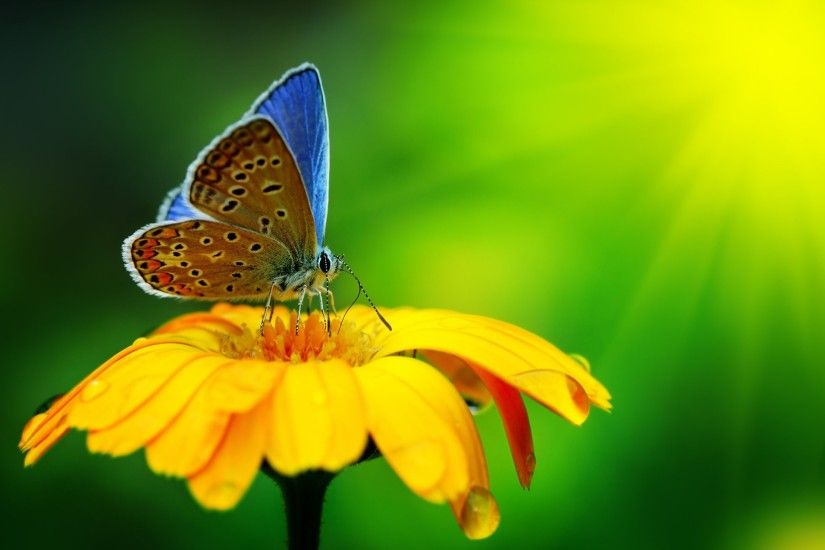 beautiful butterfly yellow flower macro nature water drops beautiful  butterfly yellow flower close up nature water