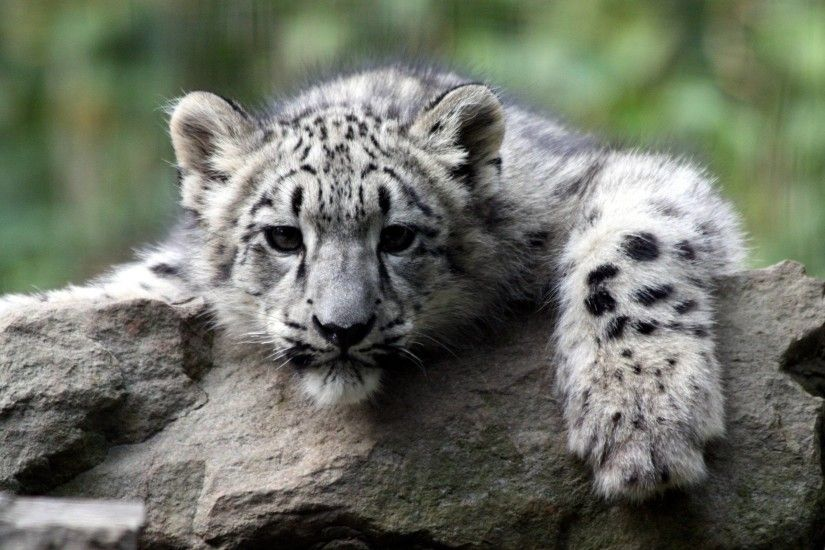 cute white tiger cub wallpapers - DriverLayer Search Engine