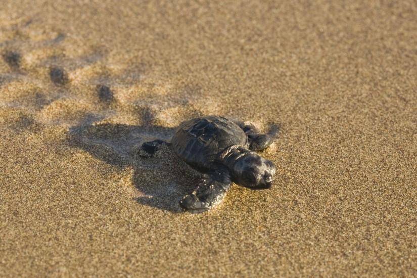 beach Wallpapers, Baby turtle on the beach Backgrounds, Baby turtle .
