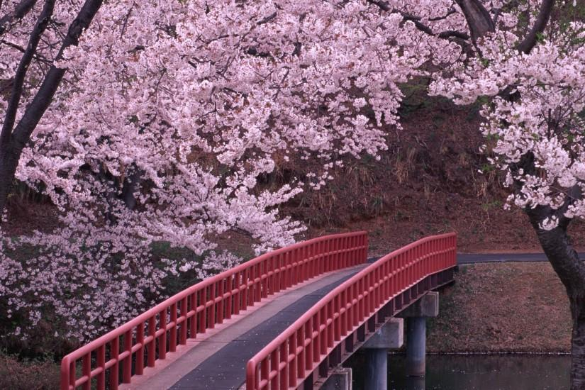 cherry blossom wallpaper 2560x1600 for pc