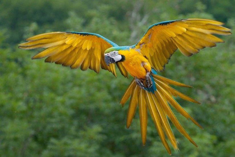 Beautiful Parrot – colored yellow base decorated with blue color in the  wings look very pretty when flying in the sky. Parrots wallpaper with  background the ...
