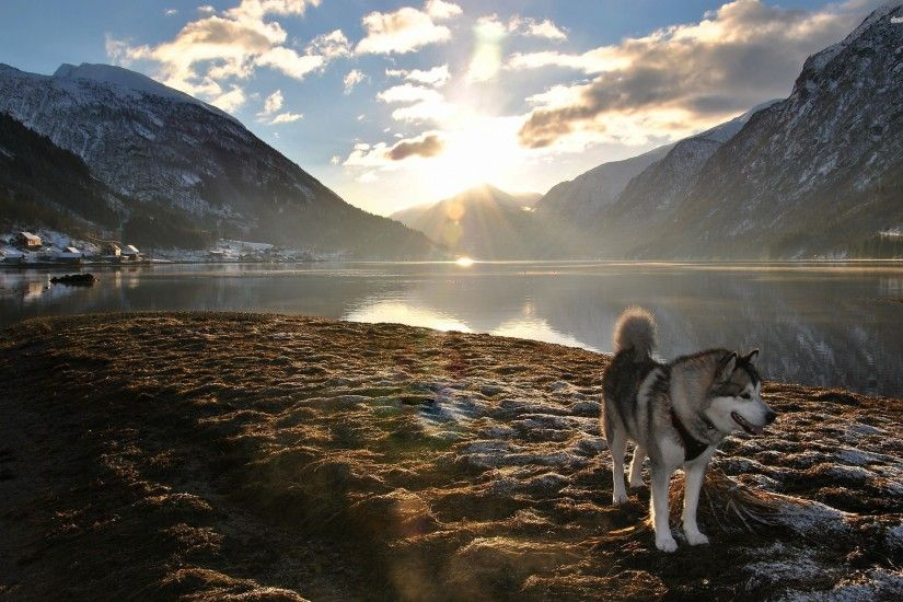 Alaskan Husky Wallpaper 3 Background Wallpaper