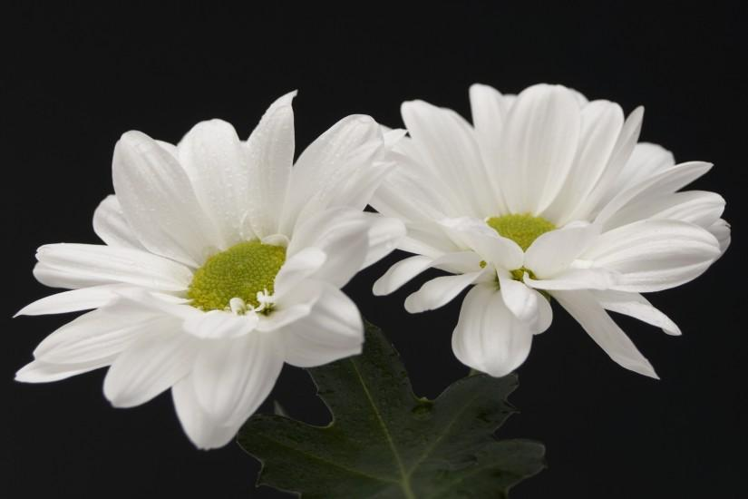 two-white-flowers_wallpapers_12941_2560x1600.jpg