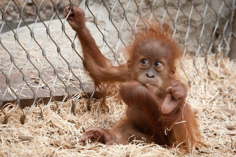 orangutan images and pictures, 682 kB - Farnham Waite