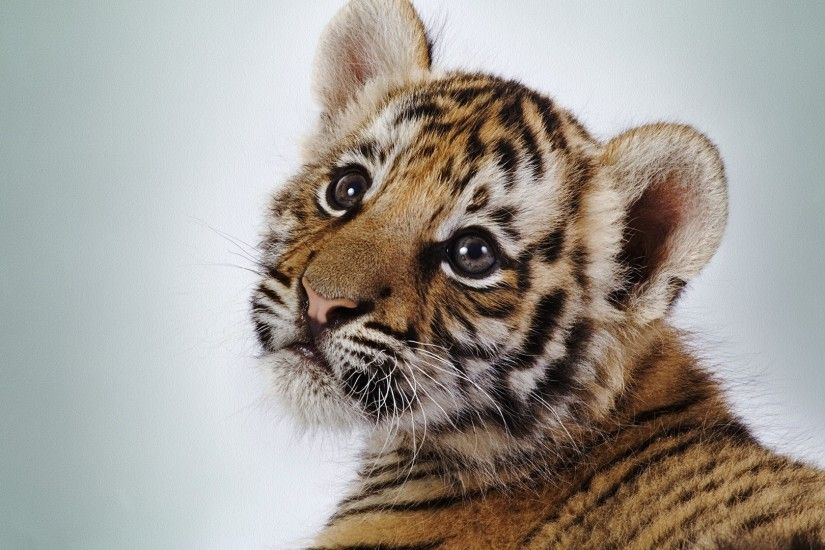 Baby Tigers Face. Preview wallpaper ...