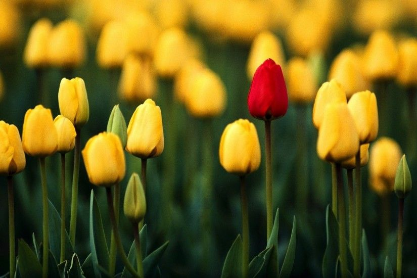 Awesome Tulips Wallpaper