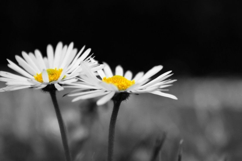 flower flower flowers daisy chamomile white black and white background  wallpaper widescreen full screen widescreen hd
